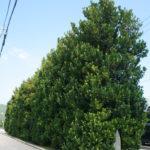 真謝のチュラ福木